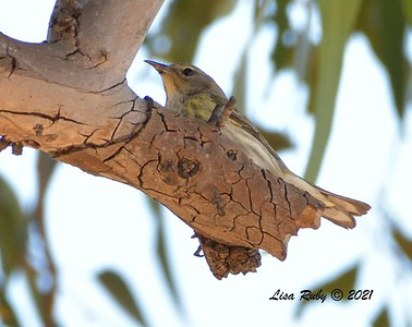 Cape May Warbler  - 01/15/2021 - Lake Murray Kiowa entrance