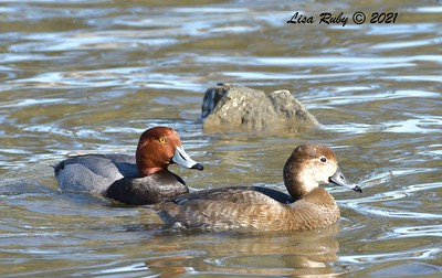 Pair of Readheads  - 01/15/2021 - Lake Murray Kiowa entrance