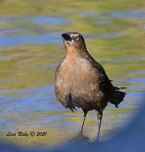 Great-tailed Grackles  - 01/15/2021 - Lake Murray Kiowa entrance