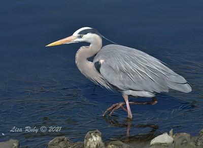 Great Blue Heron  - 2/7/2021 - Robb Field