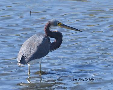 Tricolored Heron  - 2/7/2021 - Robb Field