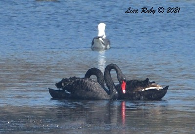 Black Swans  - 2/7/2021 - Robb Field