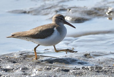 Spotted Sandpiper  - 2/7/2021 - Mission Bay