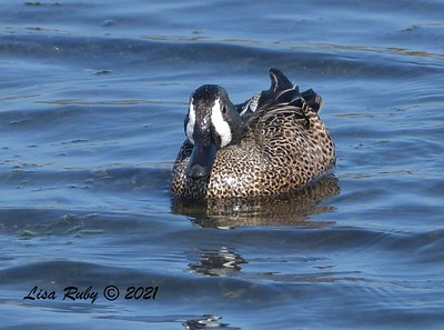 Blue-winged Teal  - 2/7/2021 - Robb Field