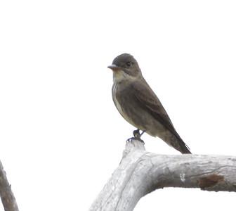 Western Wood-peewee  - 5/18/2021 - Del Mar overlooking Torrey Pines Reserve
