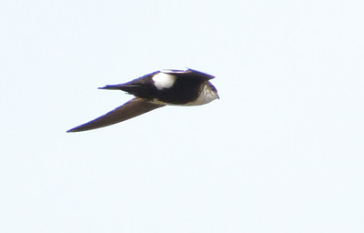 White-throated Swift - 5/18/2021 - Del Mar overlooking Torrey Pines Reserve