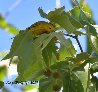 Yellow Warbler  - 4/28/2021 - Penasquitos Canyon West/Lopez Canyon