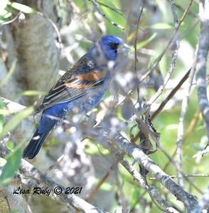 Blue Grosbeak  - 4/28/2021 - Penasquitos Canyon West/Lopez Canyon