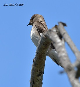 Northern Rough-winged Swallow  - 5/5/2021 - Penasquitos Canyon West