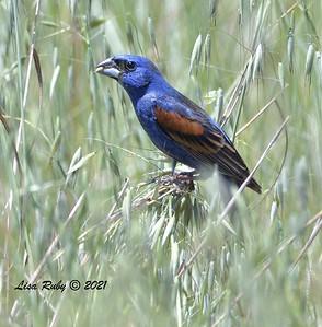 Blue Grosbeak  - 5/5/2021 - Penasquitos Canyon West