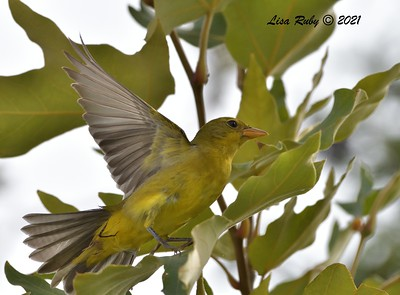 Western Tanager  - 9/6/2021 - Point Loma and Famosa Slough