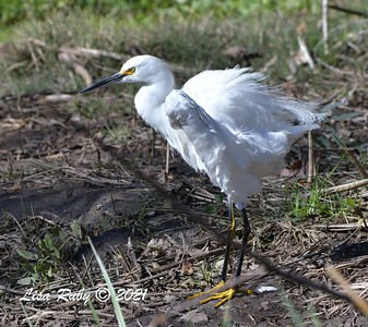 Snowy Egret - 01/27/2021 - Hilleary Park