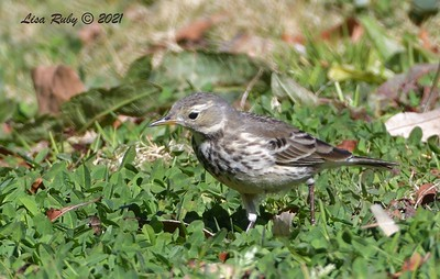 American Pipit - 01/27/2021 - Hilleary Park