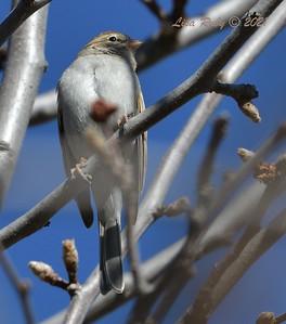 Chipping Sparrow - 01/27/2021 - Aubrey Park, Poway