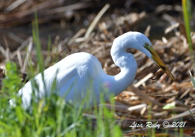 Great Egret - 01/27/2021 - Hilleary Park