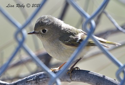 Ruby-crowned Kinglet - 01/27/2021 - Hilleary Park