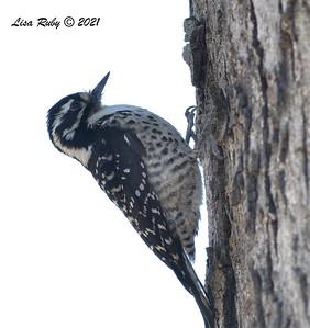 Nuttall's Woodpecker - 01/27/2021 - Hilleary Park