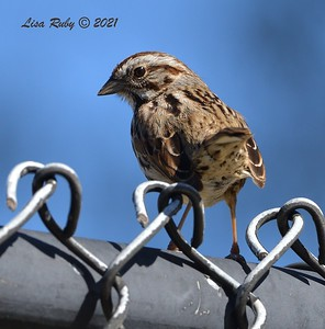 Song Sparrow - 01/27/2021 - Hilleary Park