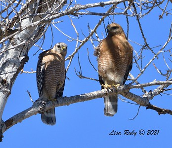 Red-shouldered Hawks  - 2/22/2021 - Poway Creek