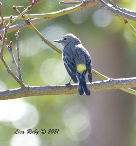 Yellow-rumped Warbler (Myrtle?)  - 2/22/2021 - Poway Creek