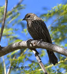Female Red-winged Blackbird  -  2/5/2021 - Poway Creek