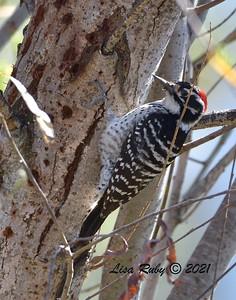 Nuttall's Woodpecker  -  2/5/2021 - Poway Creek