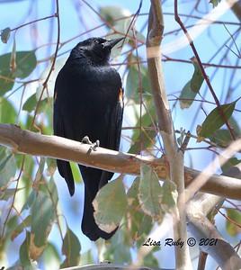 Red-winged Blackbird  -  2/5/2021 - Poway Creek
