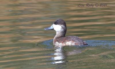 Ruddy Duck  - 01/31/2021 - Poway Pond