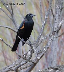 Red-winged Blackbird  - 01/31/2021 - Poway Pond