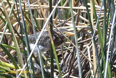 Juvenile Green Heron  - 6/18/2021 - Poway Pond
