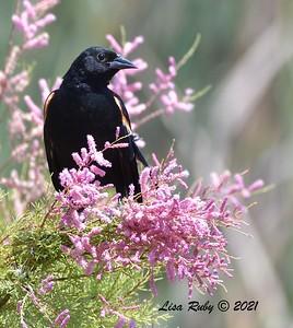 Red-winged Blackbird  - 6/18/2021 - Poway Pond