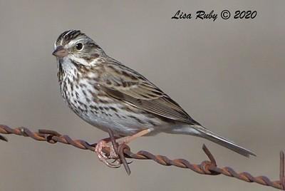 Savannah Sparrow - 01/01/2021 - Rangeland Road