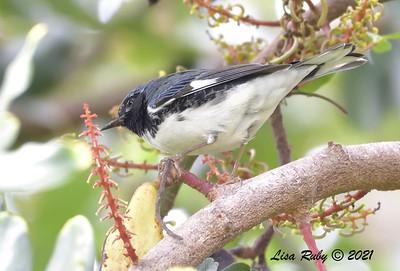 Black-throated Blue Warbler - 9/28/2021 - Buddy Todd Park, Oceanside