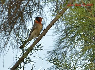 Red-faced Warbler - 09/06/2021 - Smuggler's Gulch, Tijuana River Valley