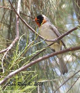 Red-faced Warbler - 09/09/2021 - Smuggler's Gulch, Tijuana River Valley