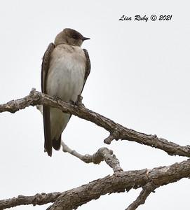 Northern Rough-winged Swallow  - 4/23/2021 - Penasquitos Creek Trail, Sabre Springs