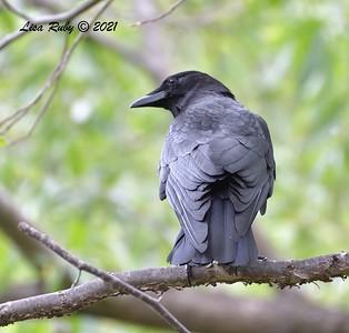 American Crow  - 4/23/2021 - Penasquitos Creek Trail, Sabre Springs