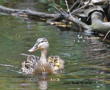 Mallard mom with Ducklings  - 4/23/2021 - Penasquitos Creek Trail, Sabre Springs