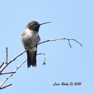 Black-chinned Hummingbird  - 04/04/2021 -  Penasquitos Creek Trail, Sabre Springs