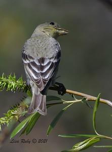Lesser Goldfinch  - 03/01/2021 - Penasquitos Creek Trail, Sabre Springs