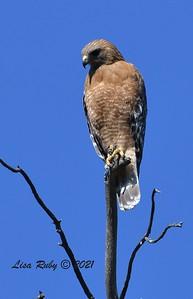 Red-shouldered Hawk  - 03/01/2021 - Penasquitos Creek Trail, Sabre Springs