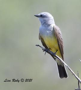 Western Kingbird  - 04/04/2021 -  Penasquitos Creek Trail, Sabre Springs