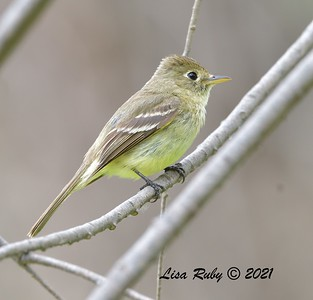Pacific-slope Flycatcher  - 5/2/2021 - Bird and Butterfly Garden, Monument Rd