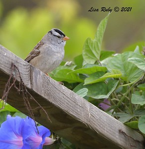 White-crowned Sparrow  - 5/2/2021 - Bird and Butterfly Garden, Monument Rd