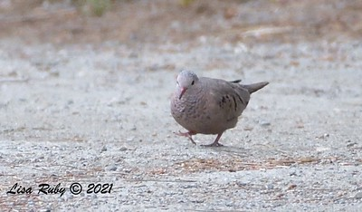 Common Ground Dove  - 5/2/2021 - Bird and Butterfly Garden, Monument Rd