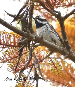 Black-throated Gray Warbler  - 5/2/2021 - Bird and Butterfly Garden, Monument Rd