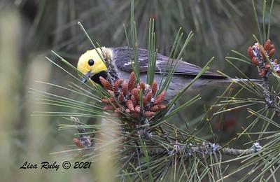 Hermit Warbler  - 5/2/2021 - Bird and Butterfly Garden, Monument Rd