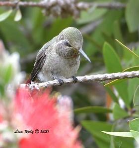 ? Hummingbird  - 5/2/2021 - Bird and Butterfly Garden, Monument Rd