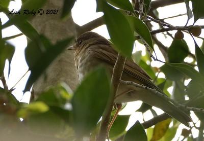 Swainson's Thrush  - 5/2/2021 - Bird and Butterfly Garden, Monument Rd
