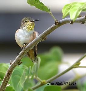 Allen's Hummingbird  - 9/2/2021 - Webb Park